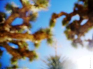Yucca Brevifolia  [Joshua Tree]